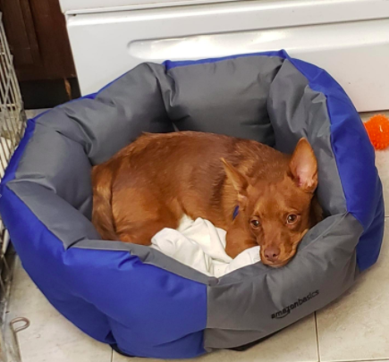Small brown dog sits in blue, water-resistant pet bed at reviewer's house
