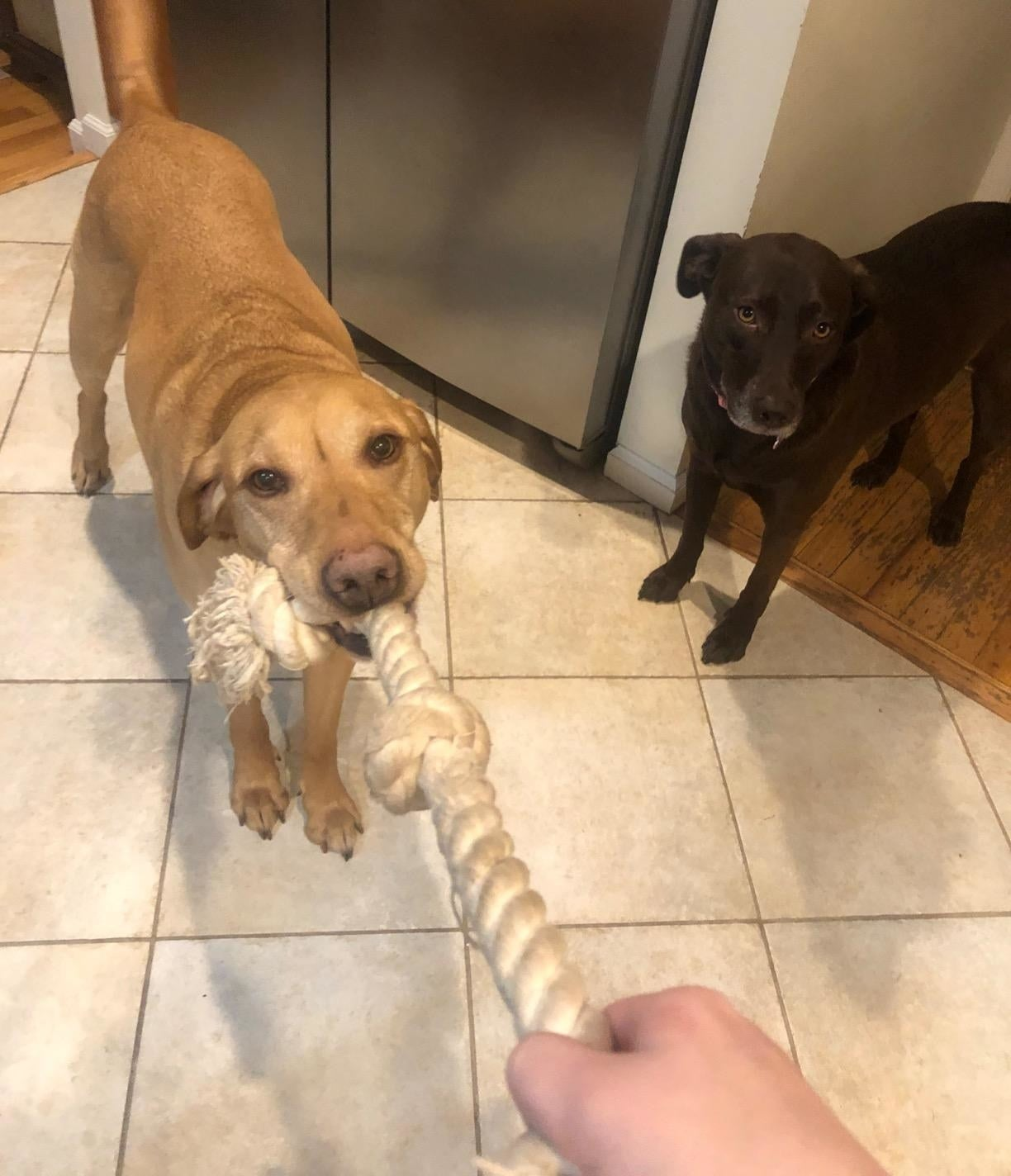 Reviewer playing tug-of-war with their dog