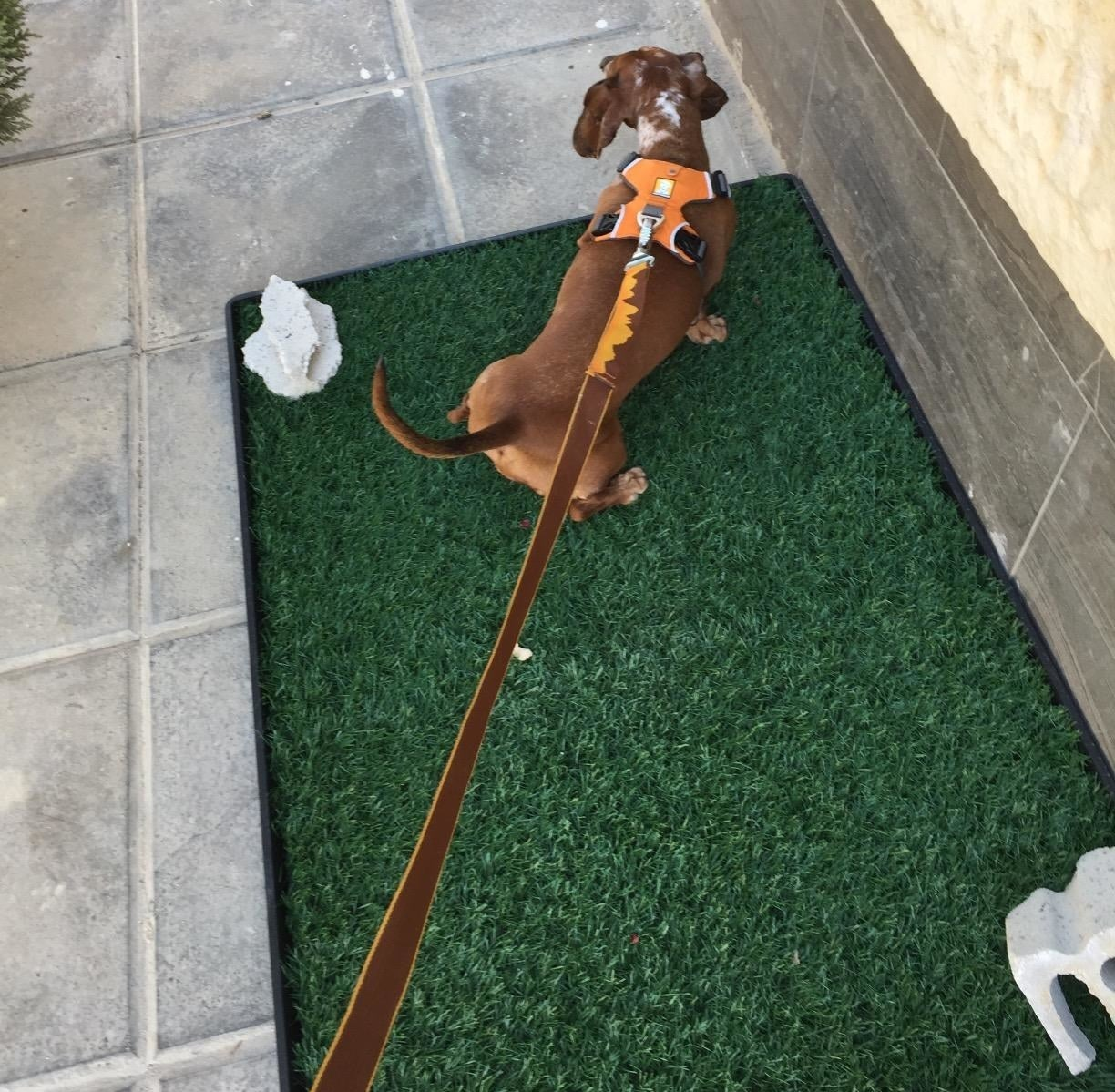 Reviewer showing their dog on the turf mat