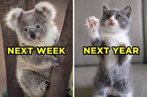 "On the left, a koala sits in a tree and ""next week"" is typed on top of it, and on the right, a kitten stands on its hind legs and puts its paw in the air and ""next week"" is typed on top"
