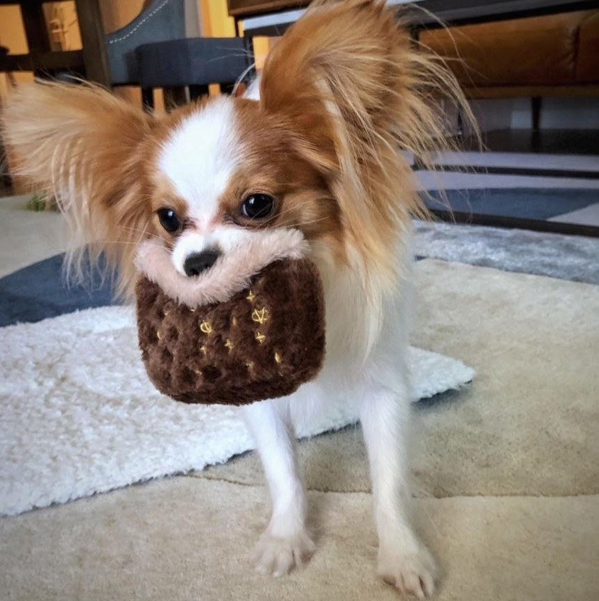 A papillon playing with a chew toy shaped like a brown leather purse