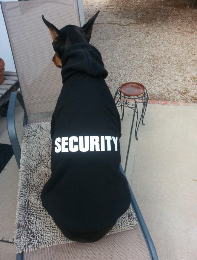 "A Doberman wearing a black hooded sweatshirt with the word ""security"" in white on the back"