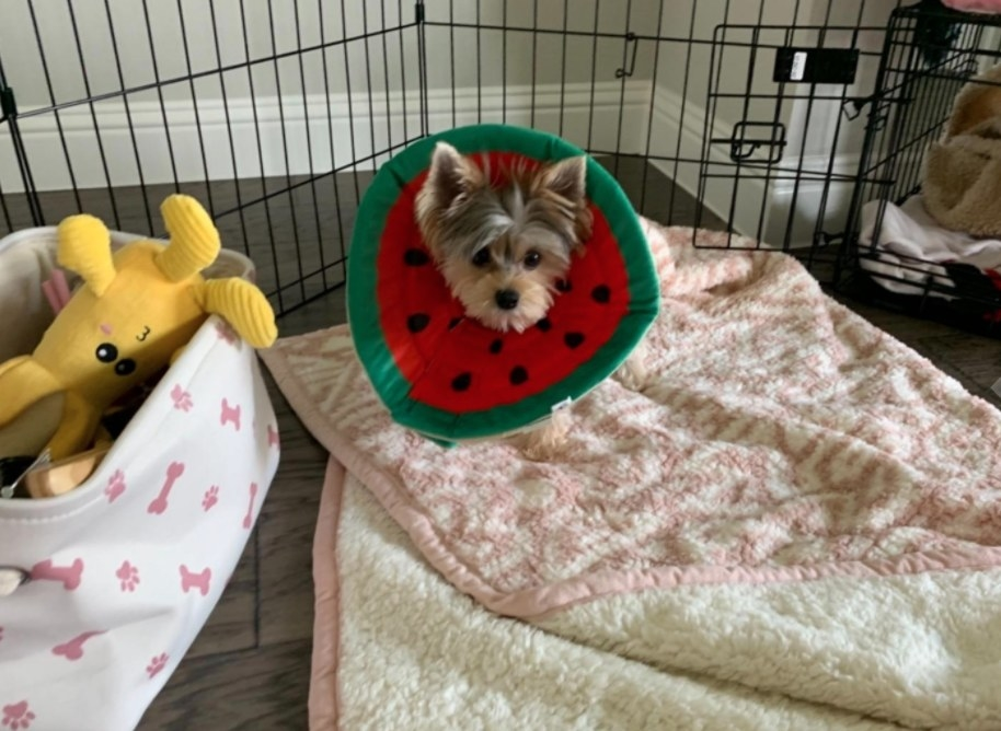 A little dog wearing a green and red recovery color that looks like a watermelon slice