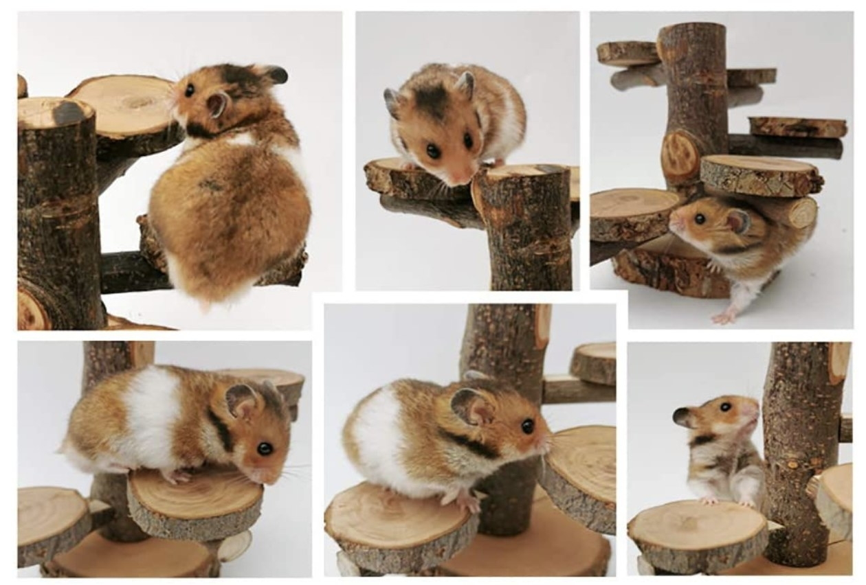 A white and brown hamster climbing all over the wooden playground