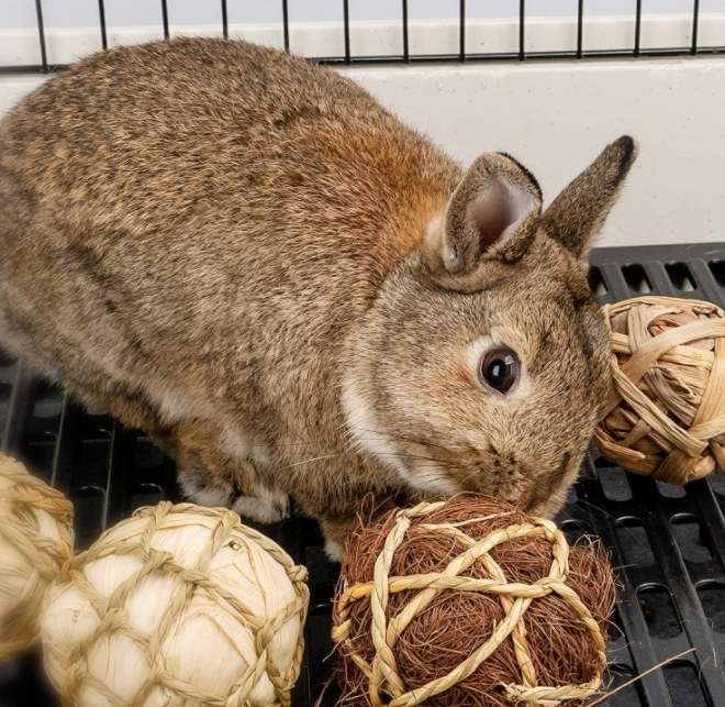 A brown rabbit playing with rolling balls