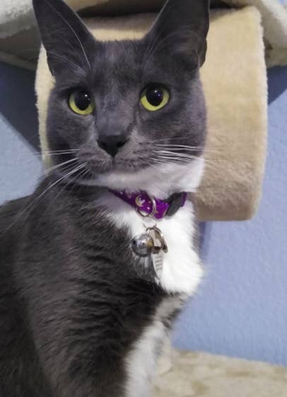 Black and white cat wears a purple glow-in-the-dark collar with moon and stars printed all over it indoors