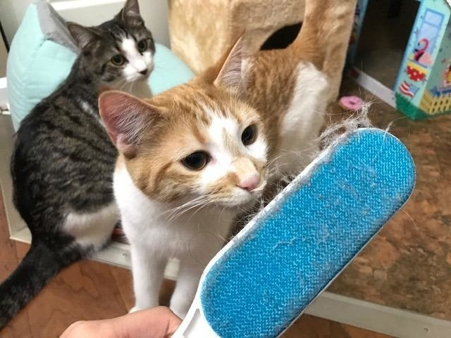 A reviewer's two cats looking at all the hair the blue and white brush picked up