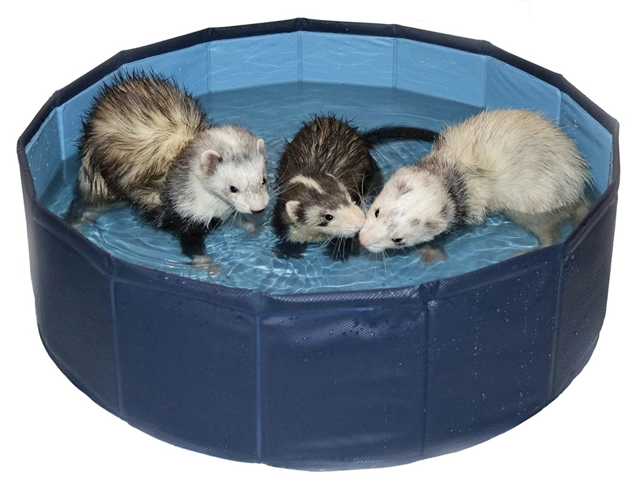 Three wet ferrets inside a round blue swimming pool