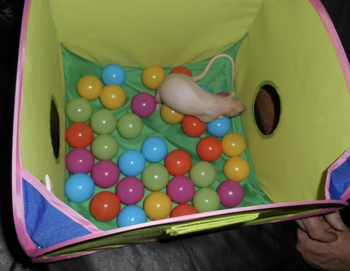 A white rat in a ball pit with colorful plastic balls