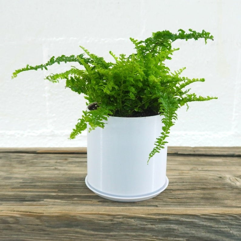 A fern in a white pot sits on a wooden table