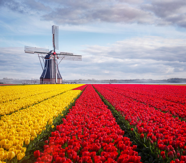 Brightly-colored tulip fields and windmill in Holland, Michigan.