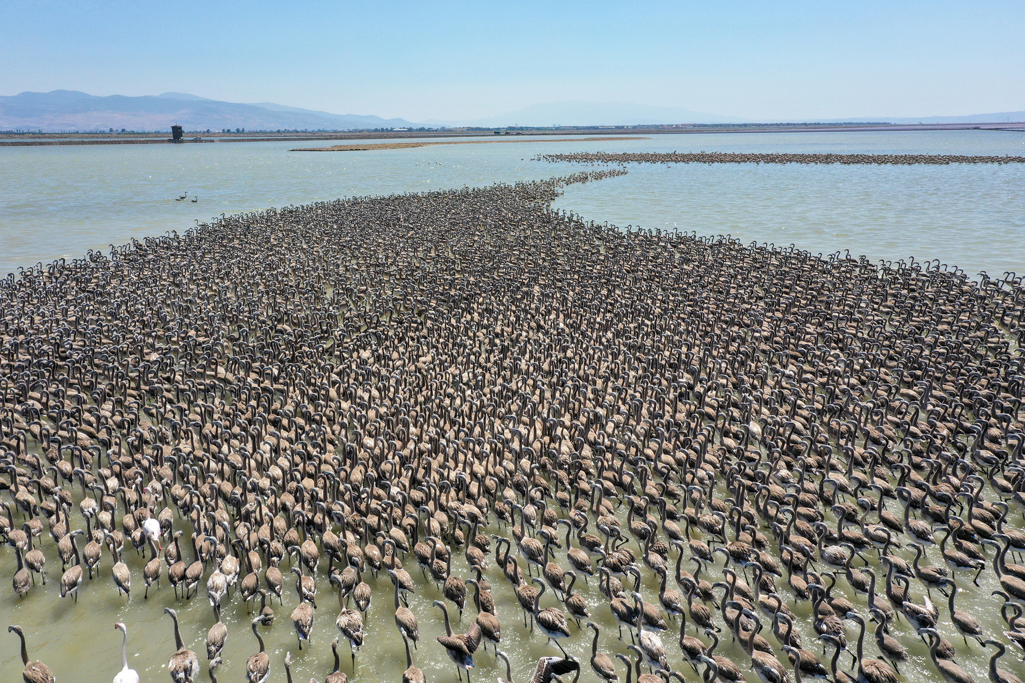 An aerial photo shows thousands of baby flamingos in a body of water