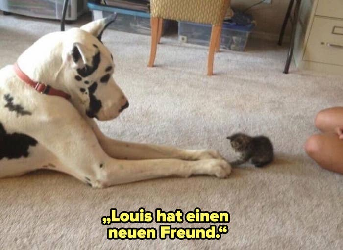 A large dog putting his paws on a much smaller kitten's paws