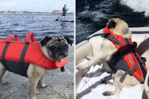 on the left, a pug wearing a red life vest and on the right, a pug wearing the life vest in a boat