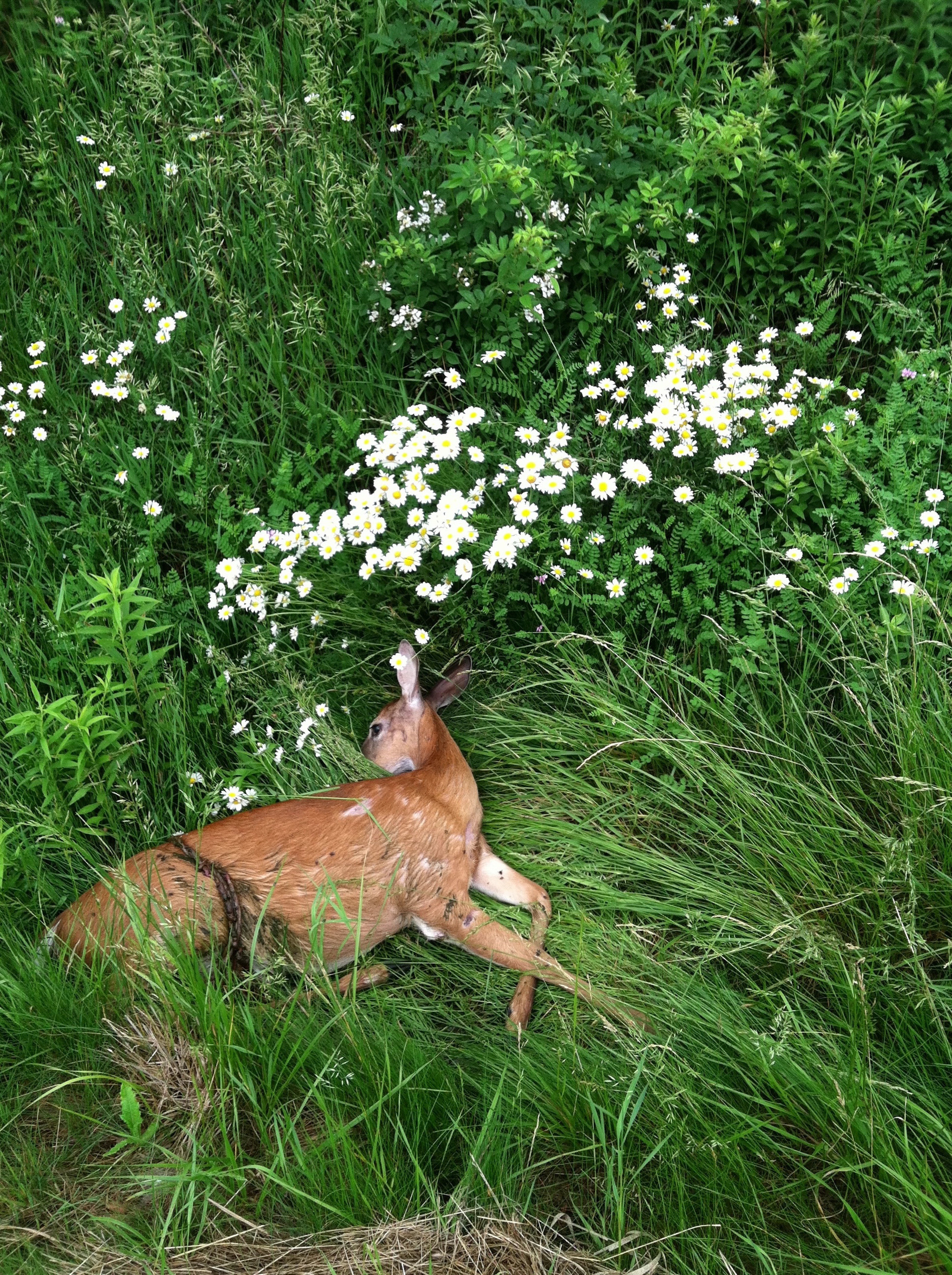 A deer lying in the grass with white wildflowers