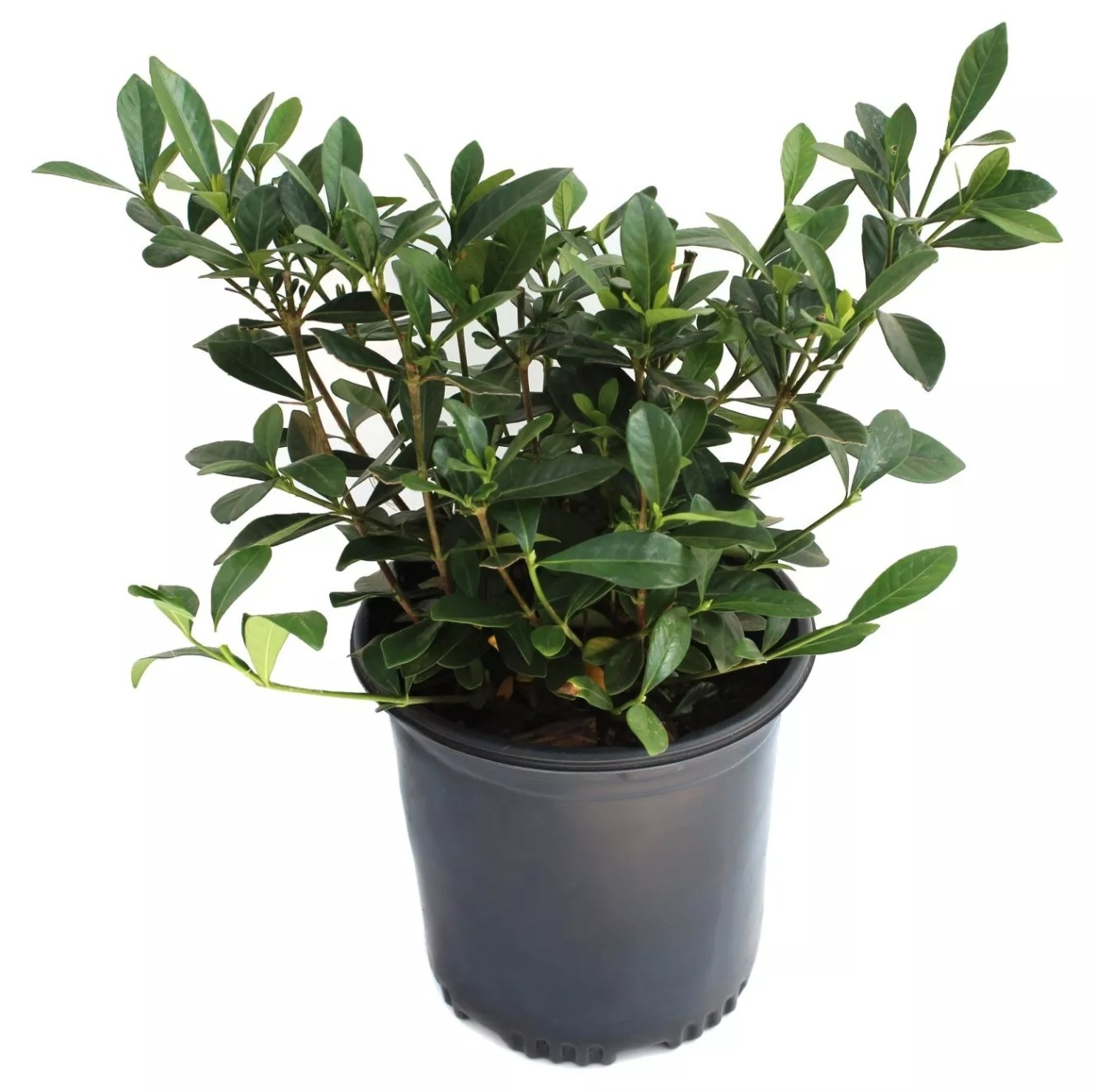 The potted bush