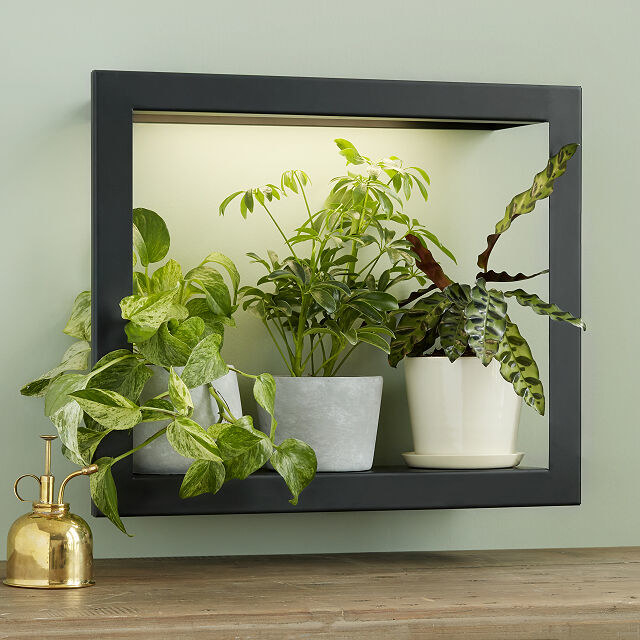 The Growlight Frame Shelf hanging on a bedroom wall. It is holding and lighting three plants.