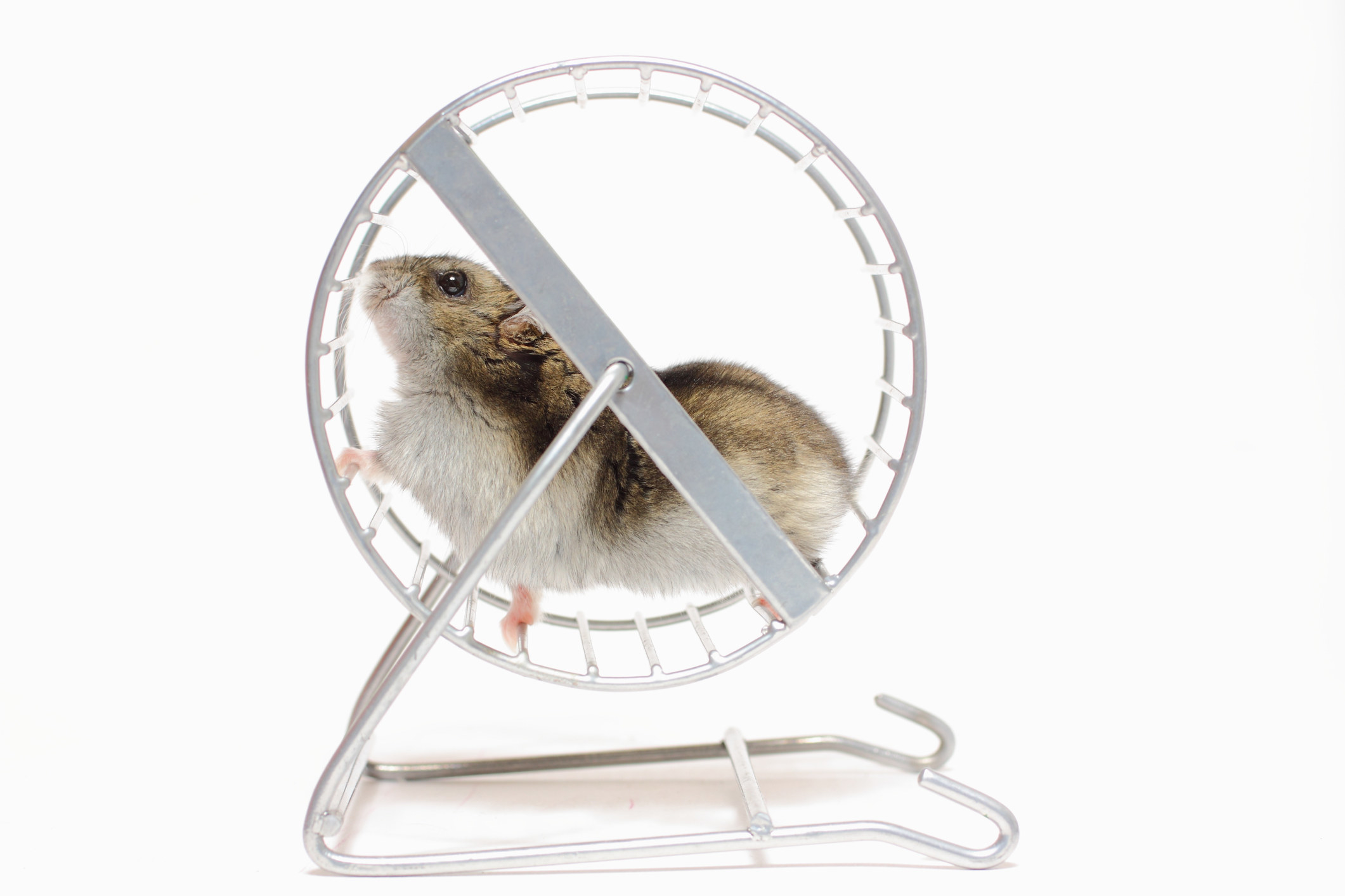 A small white and brown hamster in a wheel