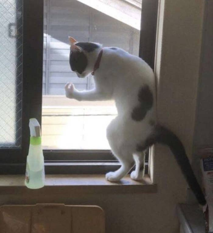 Cat looking at paw upright on a window.