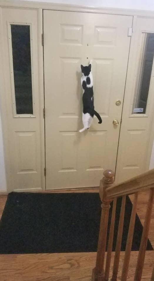 Cat jumping on door.