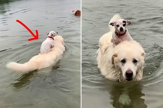 Little dog riding on big dog's back while it swims