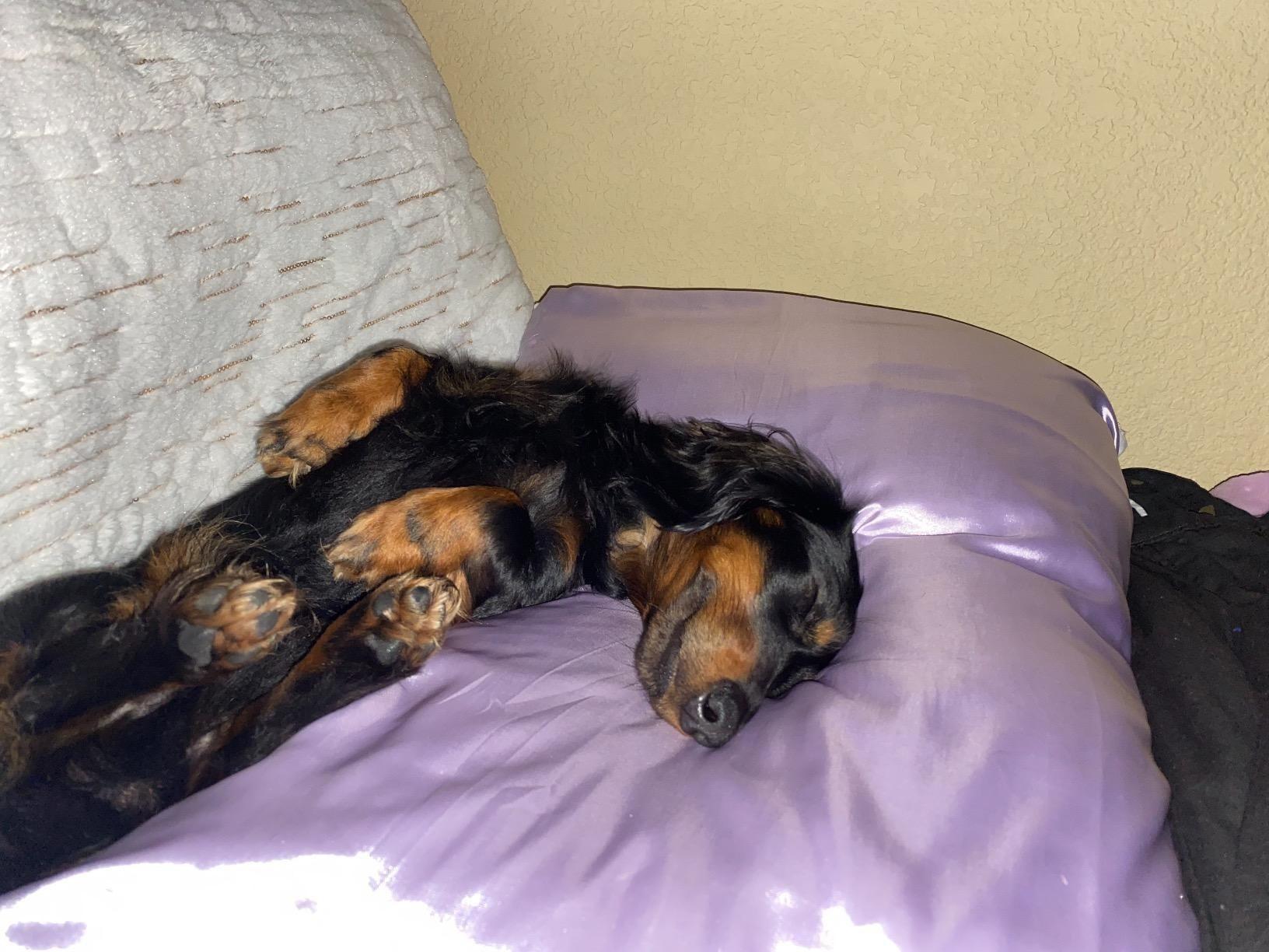 dachshund sleeps upside down on purple satin pillow