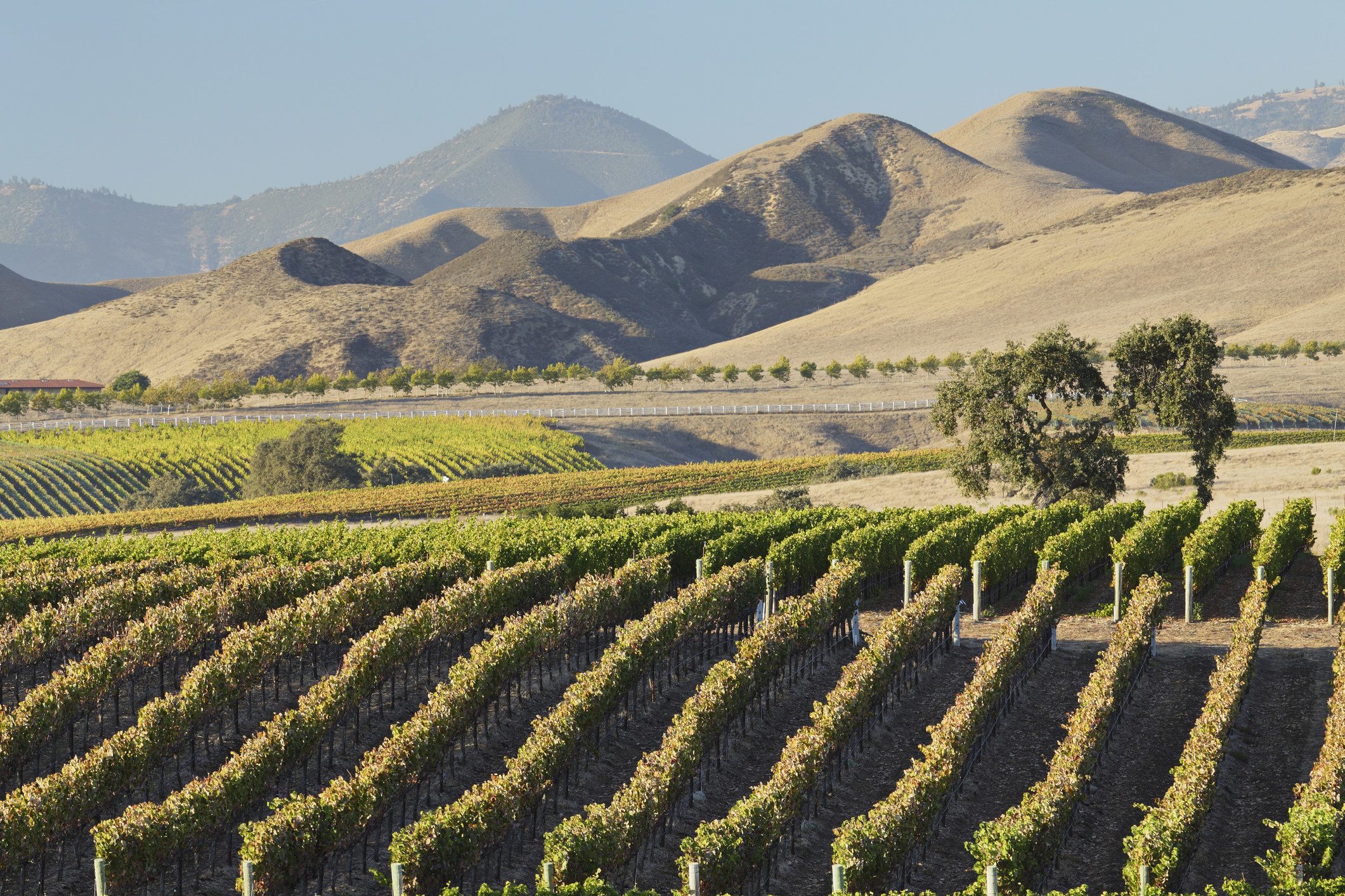 Manicured vineyard with rolling hills in the background