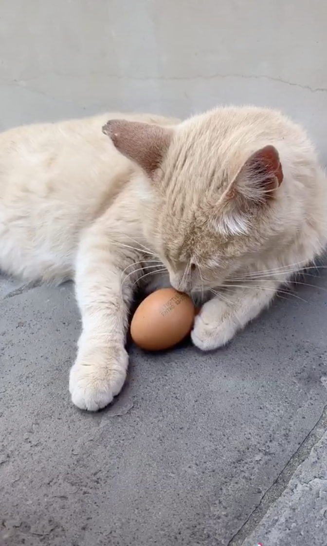 Cat gently holding the egg with its paws and sniffing it.