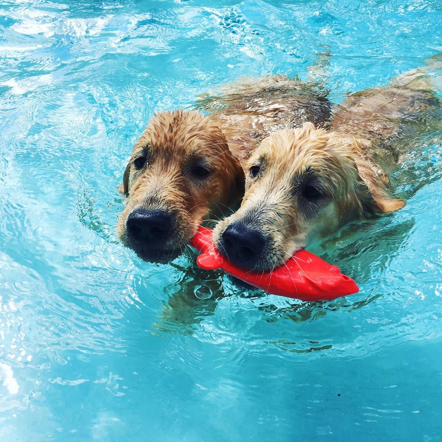 two golden retrievers chewing on a red fish