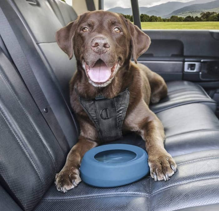 A chocolate lab model happily hovering over a blue water bowl in the car