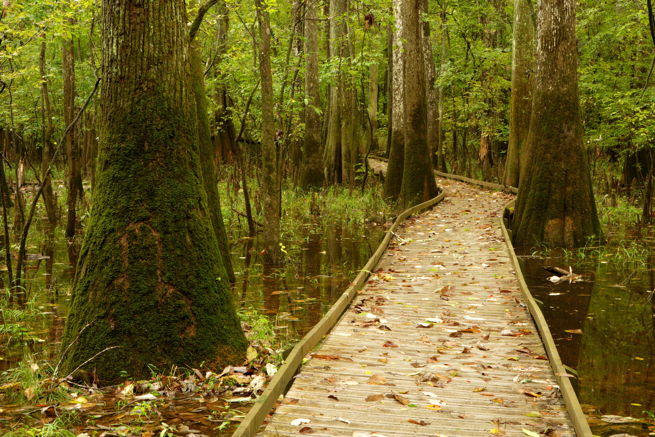 A paved boardwalk passing through tall trees in Congaree National Park.
