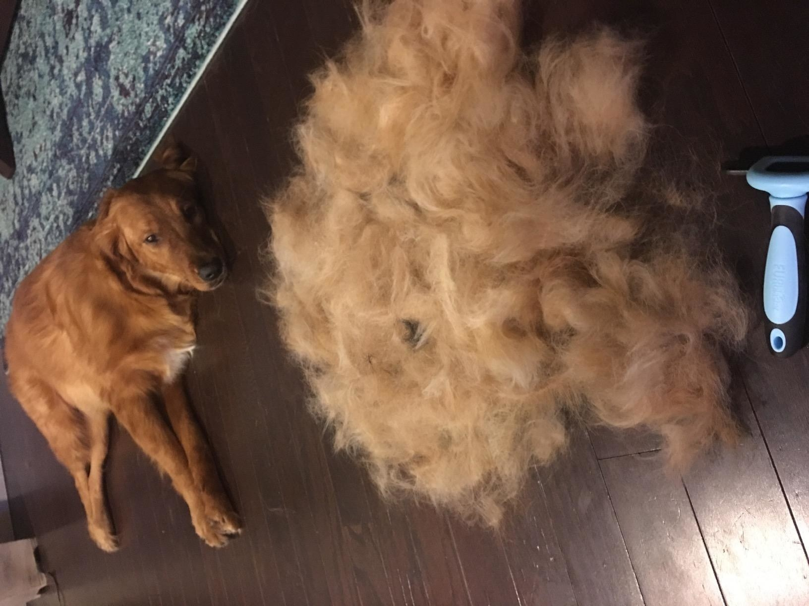 A golden retriever lying on the floor next to a huge pile of fur that was just brushed off using the de-shedding brush.