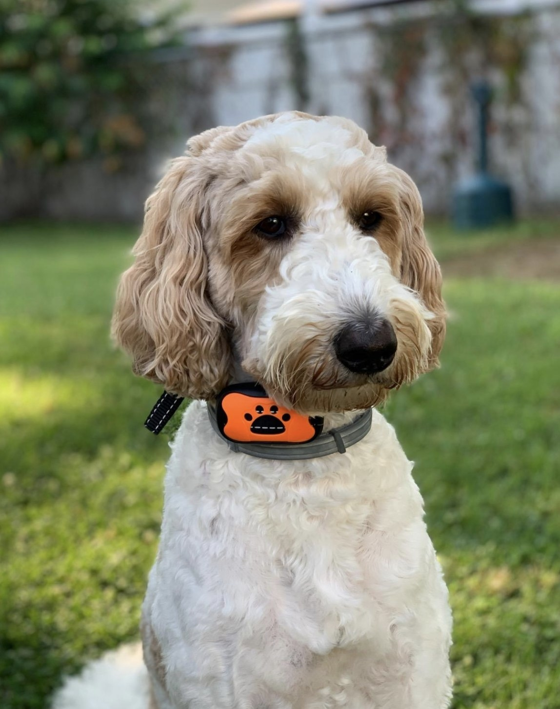 a reviewer's dog wearing the collar