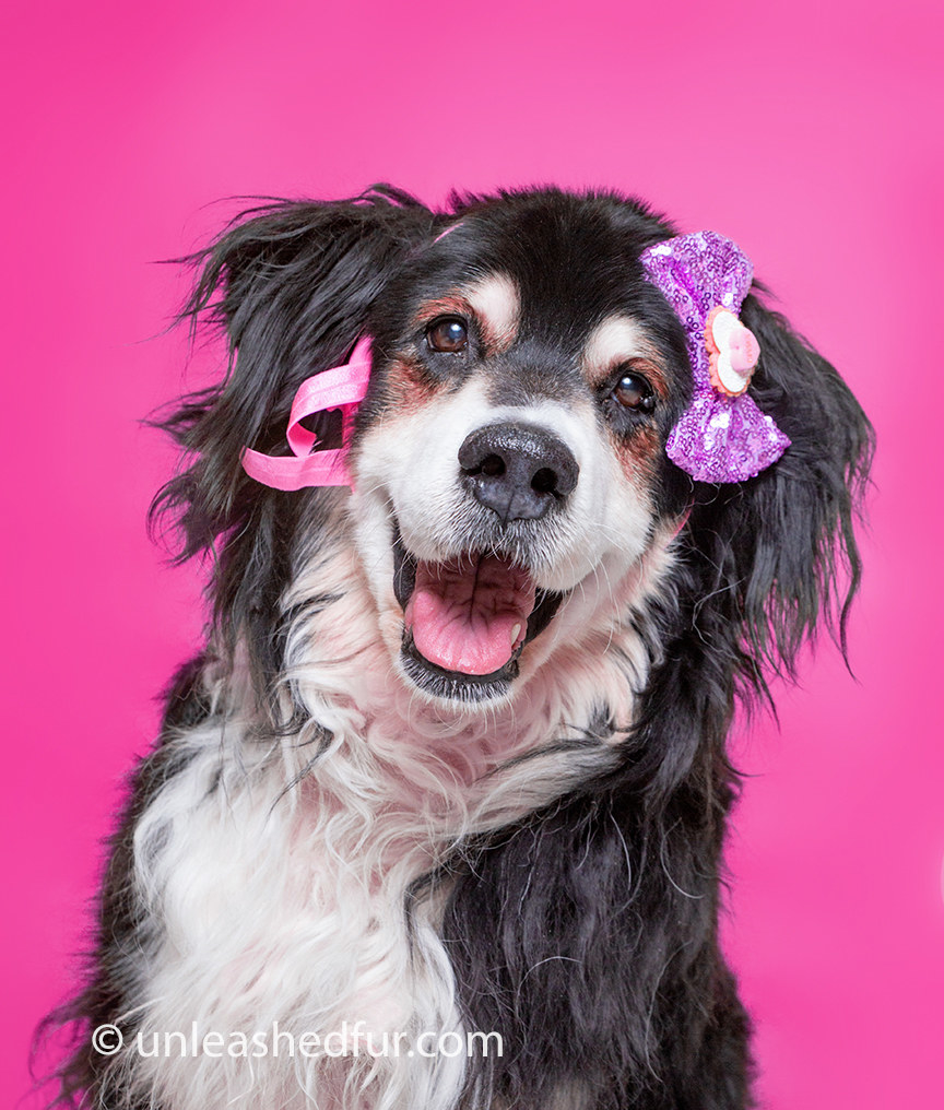 Long-haired dog smiling with bows in her hair