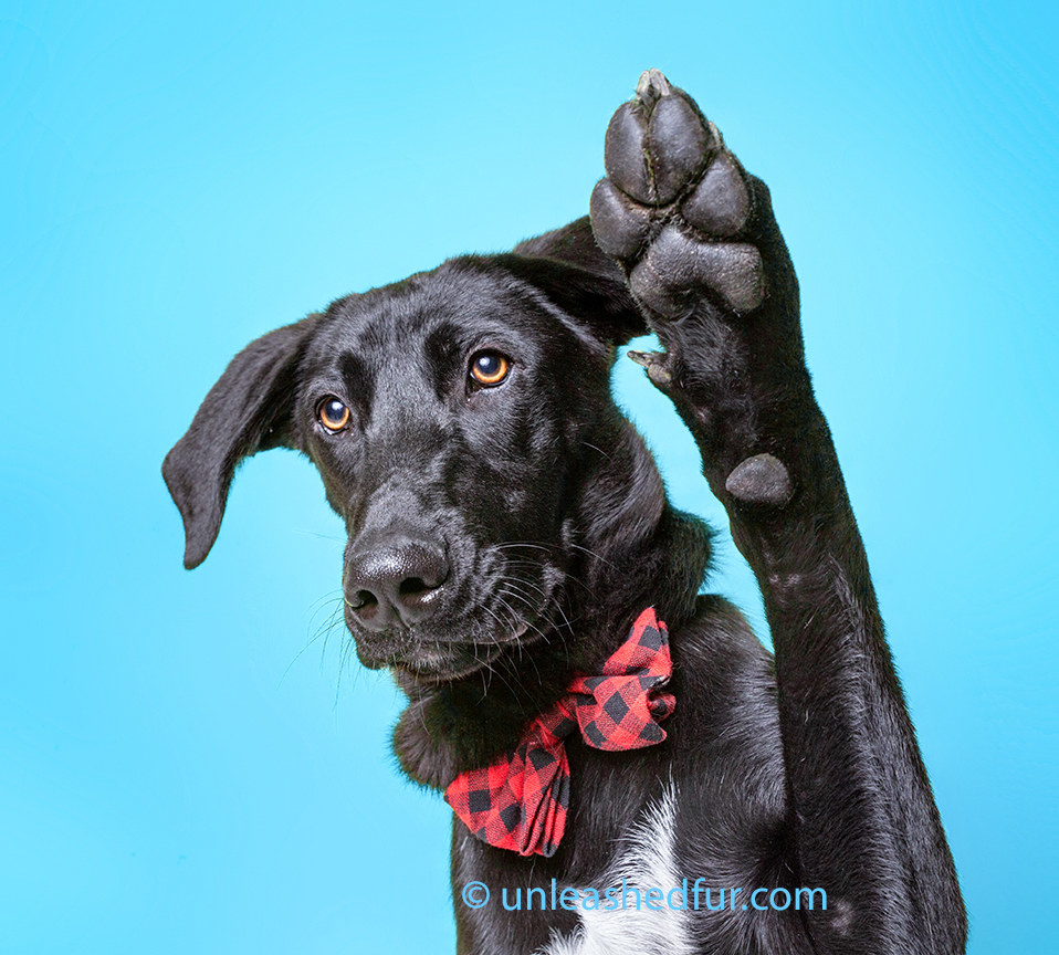 Dog in a bowtie raising his paw