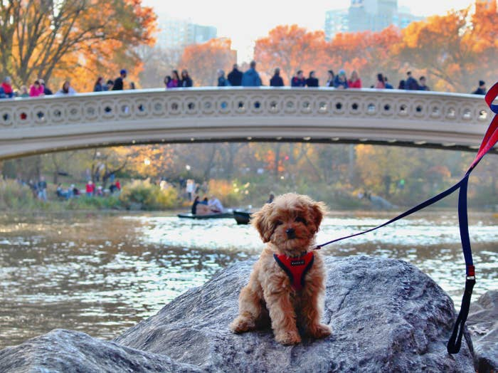 My dog, Hudson, wearing a red Puppia soft harness posing in Central Park.