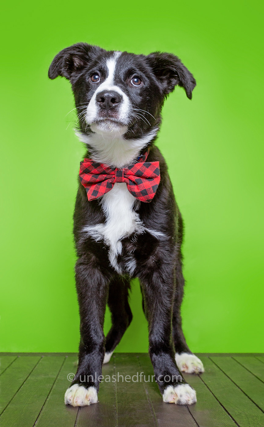 Dog wearing a bowtie