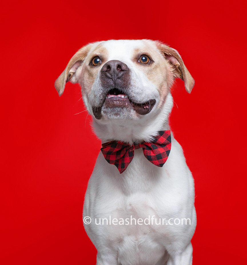 Dog wearing a patterned bowtie