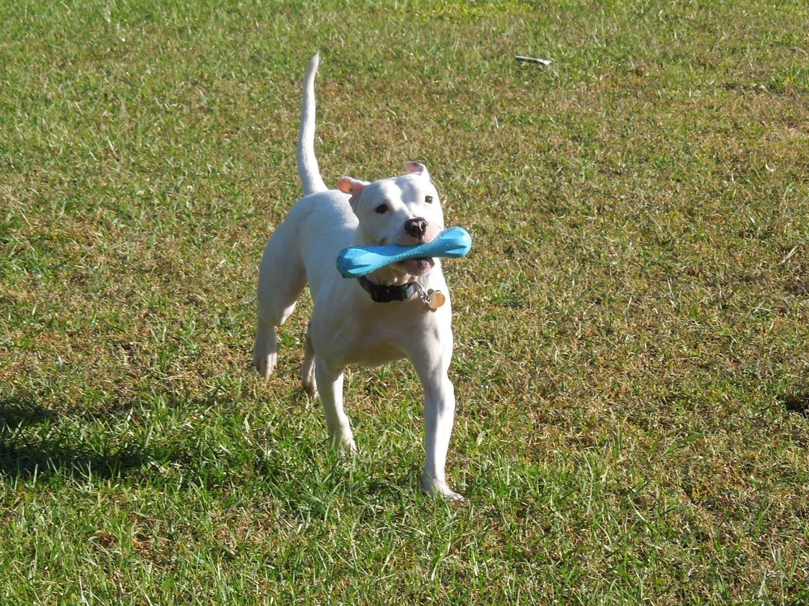 Reviewer's dog playing with the toy outside