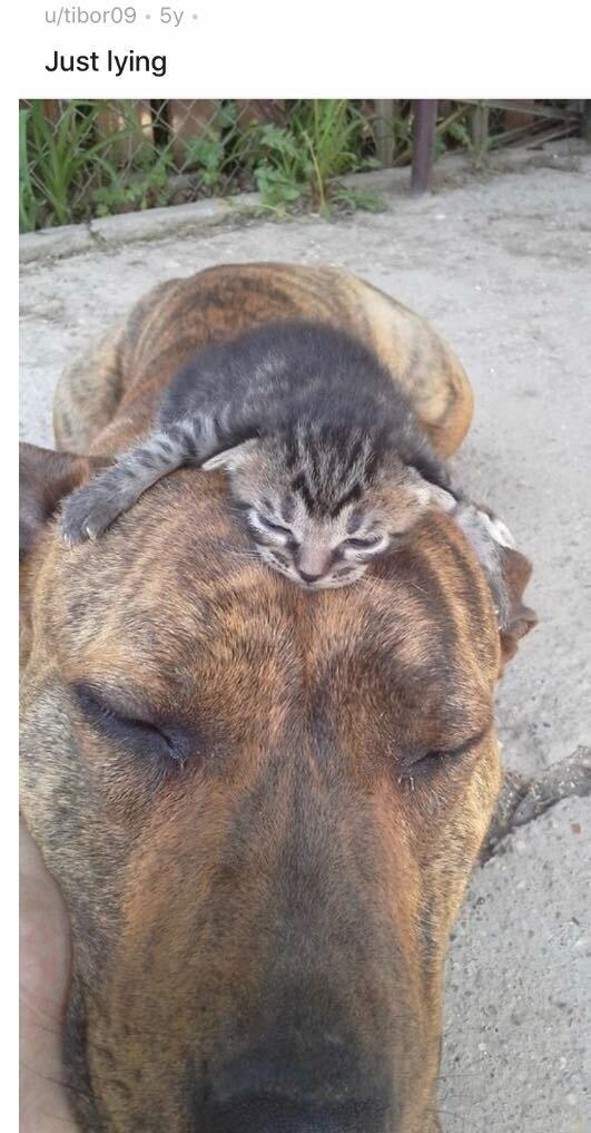 A tiny kitten sleeping on the head of a much larger dog