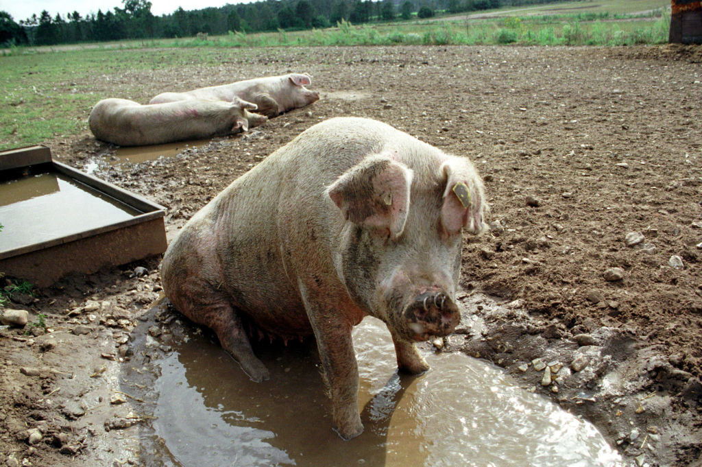 A group of pigs wallowing in mud