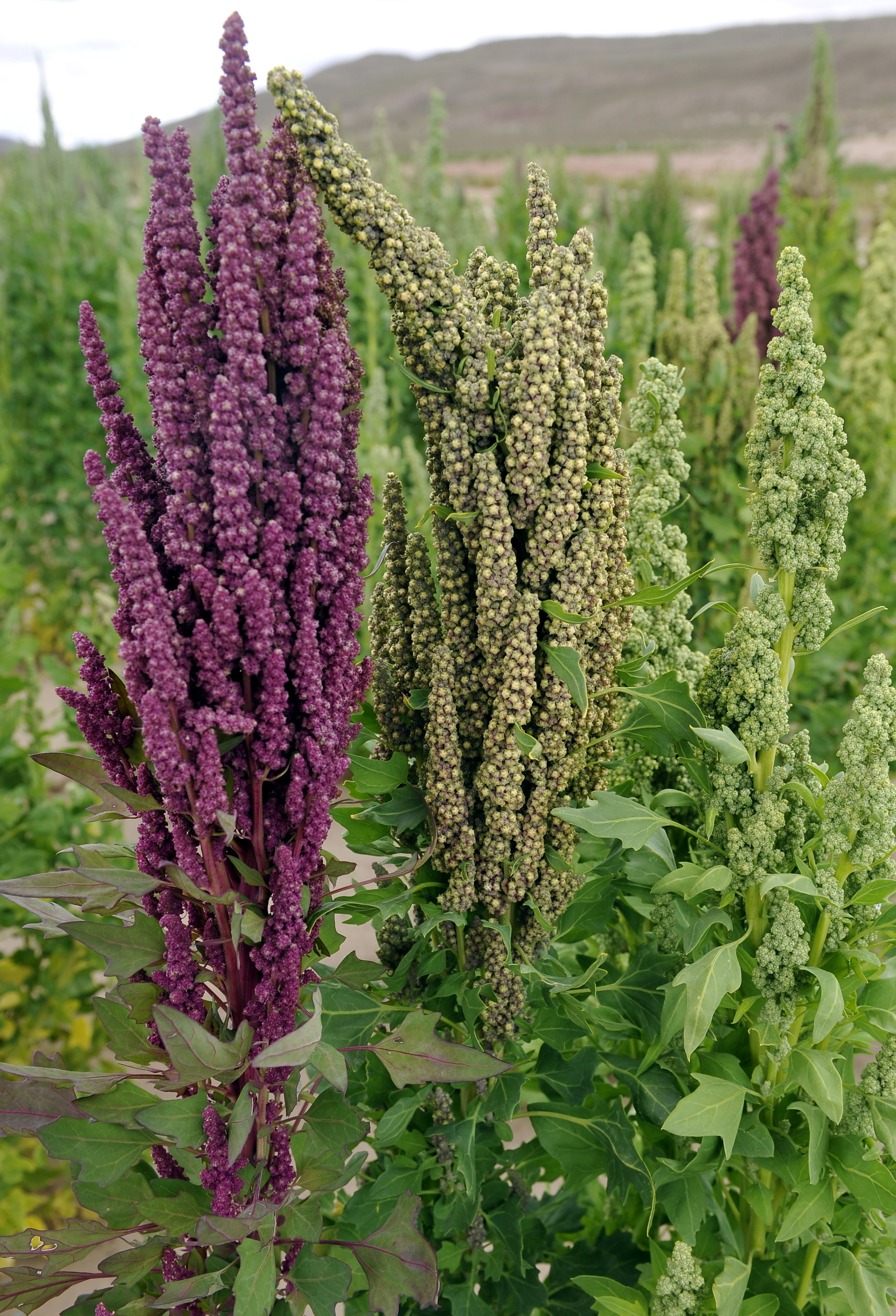 A large quinoa plant — with the quinoa growing similar to a flower.