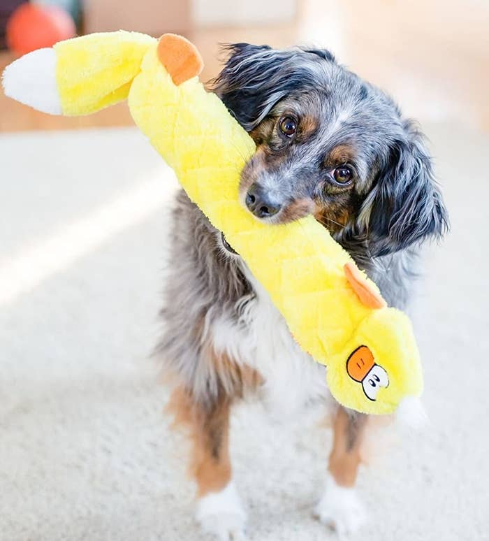 Small dog holding the long duck toy in its mouth