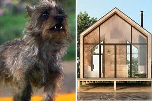 Toto is on the left looking off into the distance with an empty wooden house on the right