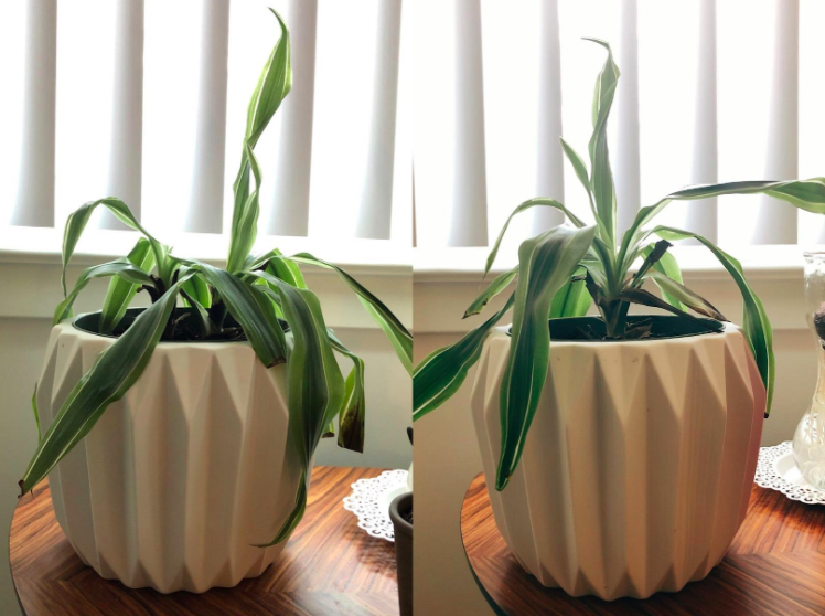 Reviewer photo showing their houseplant before and after using Miracle Gro Plant Food Sticks. In the before photo, the houseplant is visibly wilting. In the after photo, the houseplant looks considerably healthier after using the product.