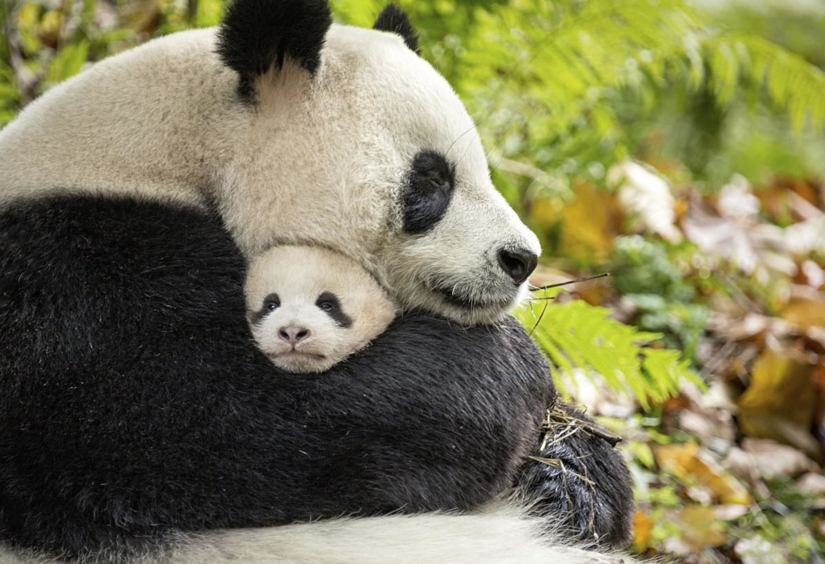 the panda and her baby