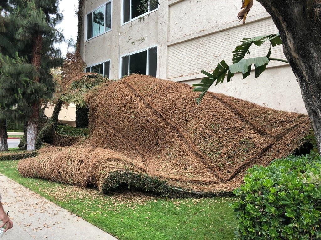The layer of vines from an ivy wall are piled on the ground while the wall is bare