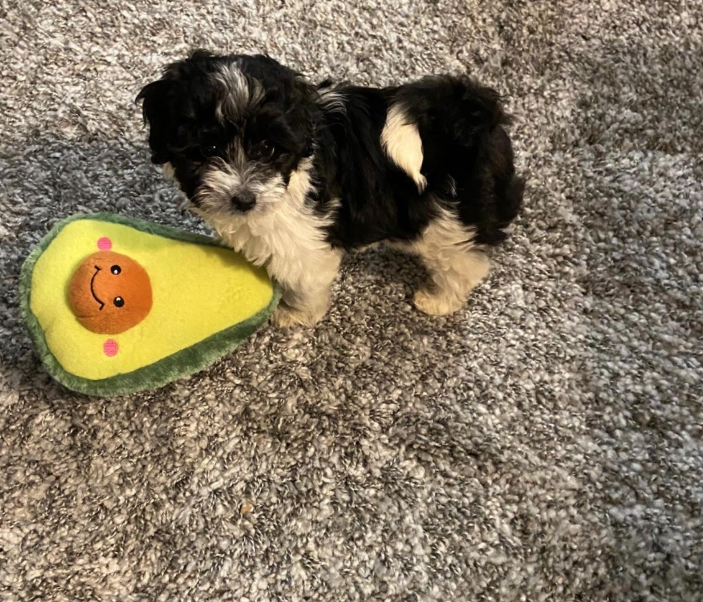 Reviewer's small dog with a plush avocado dog toy in its mouth