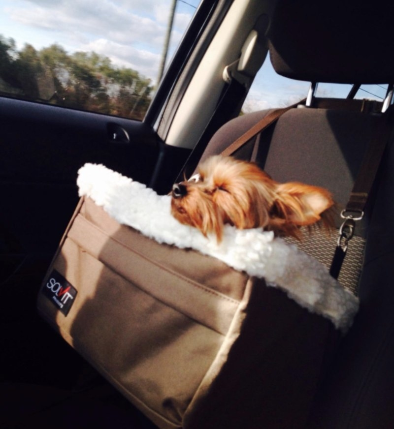 Reviewer's  Yorkie sits inside booster seat