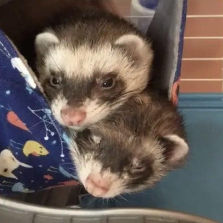 reviewer's ferrets inside hammock